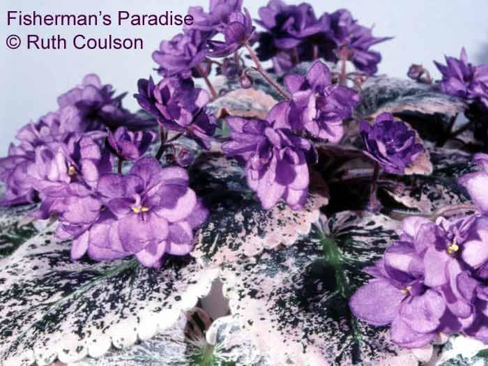Fisherman's Paradise has some of the most beautiful foliage in all of the African violets