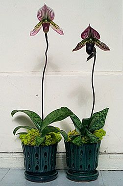 """This Paphiopedilum Collusum hybrid is shown in a decorative """"orchid pot"""". We don't recommend growing directly in these but they are a great outer container for any orchid grown in a plastic pot."""