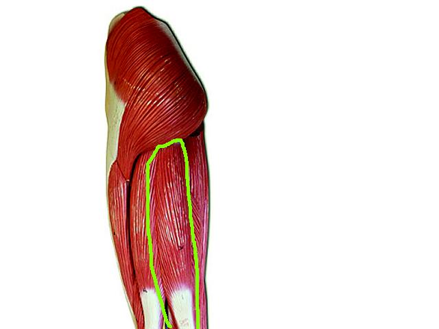 Semimembranosu Semitendinosus Muscle | semitendinosus