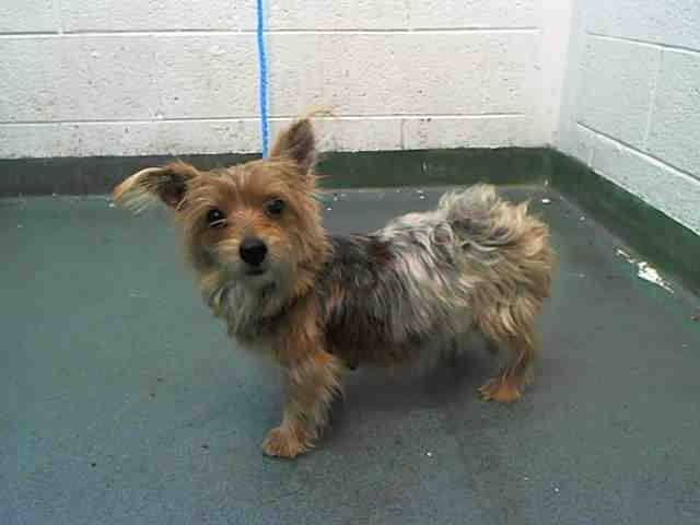 Betty A1669901 I Am A Female Brown And Tan Yorkshire Terrier