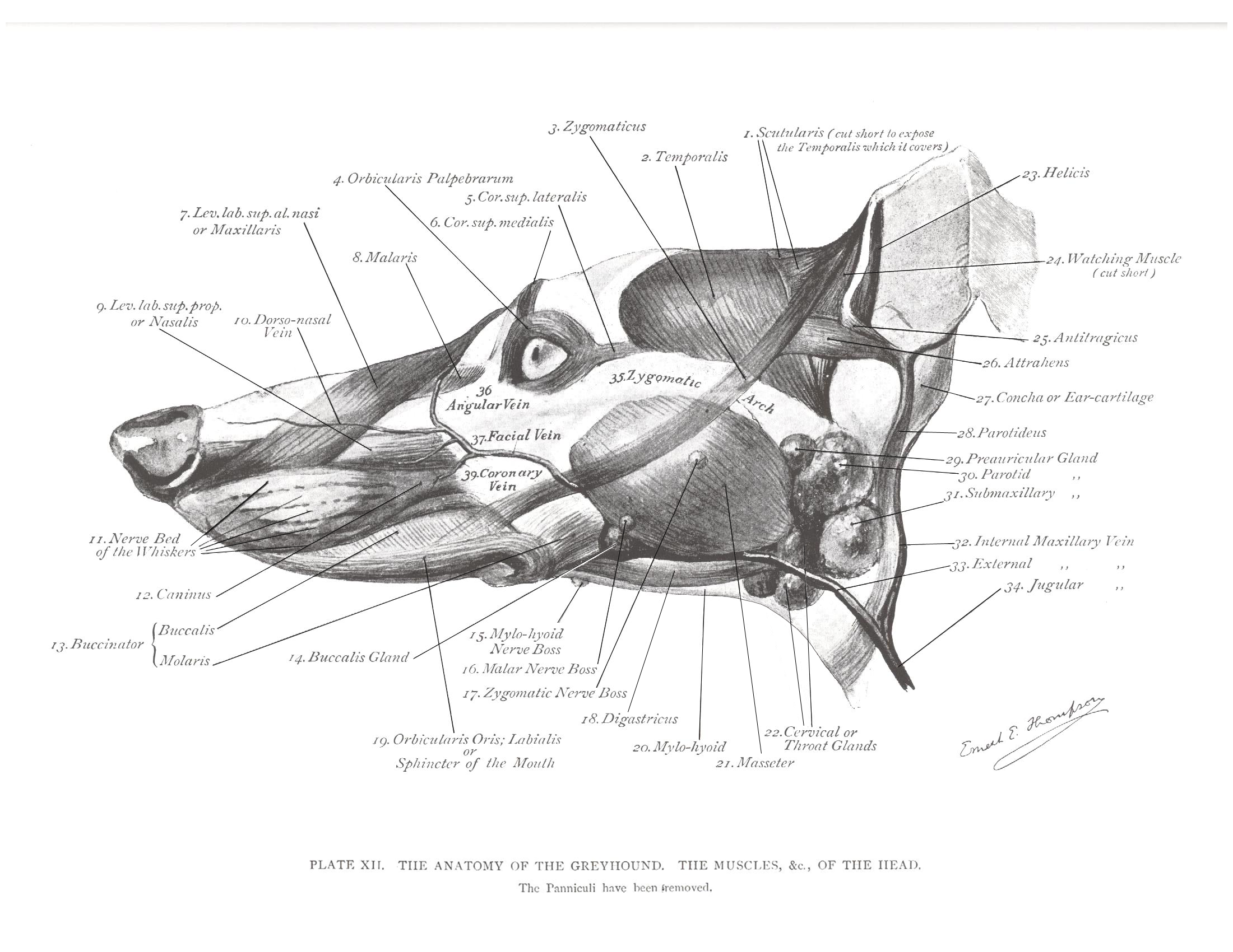 Greyhound anatomy diagram the head muscles click the link to greyhound anatomy diagram the head muscles click the link to get this greyhound anatomy pooptronica