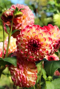 Heirlooms Provide History Beauty And Taste Everybody Gardens Heirlooms History Flowers