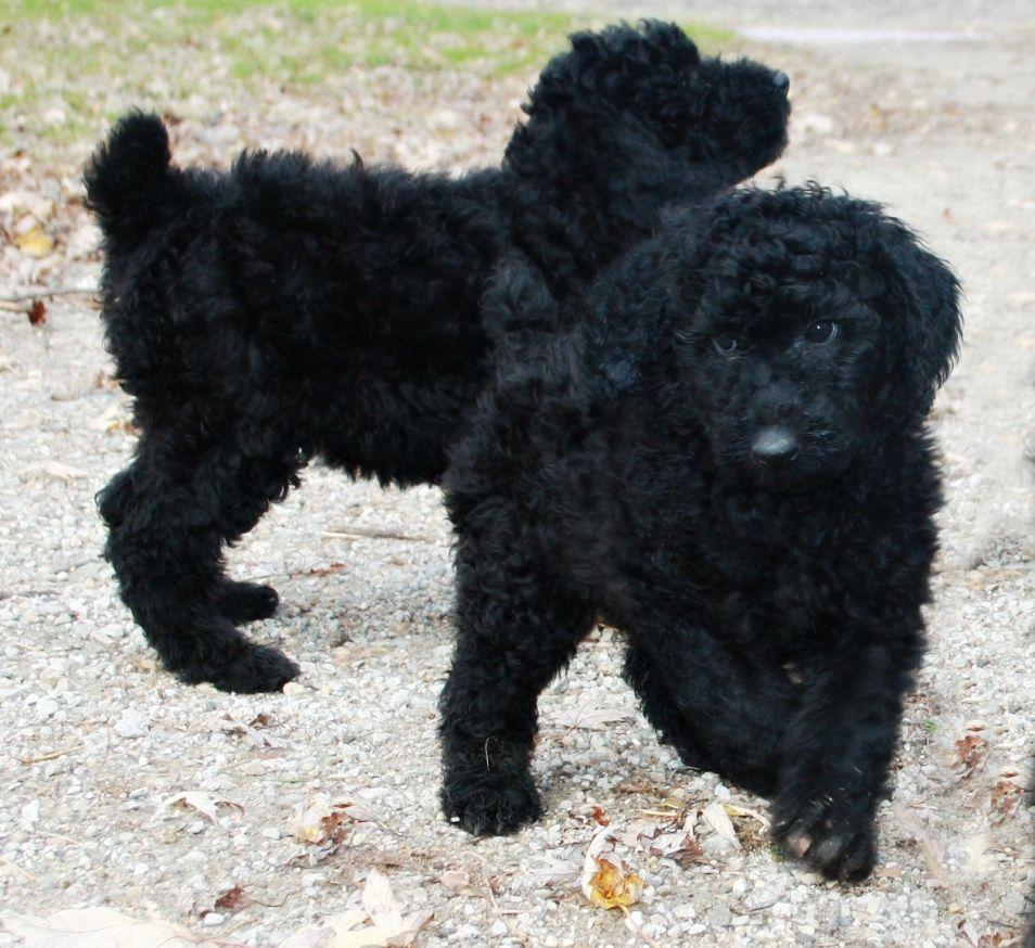 Reyahmi Standard Poodle Puppies Minnesota Standard Poodle Puppies