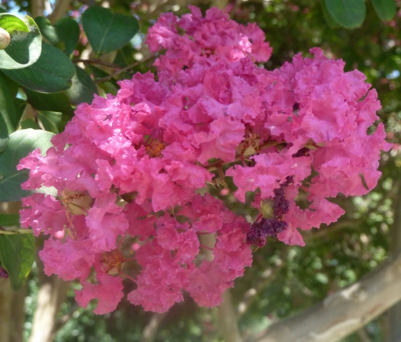 Florida Flowering Trees Identification | THIS POST IS ...