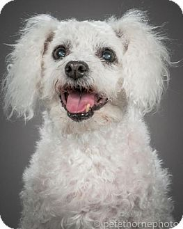 Special Needs Pictures Of Violet 1475 A Bichon Frise Poodle