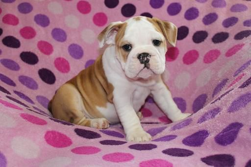 Bulldog Puppy For Sale In Richmond Ky Adn 29604 On Puppyfinder