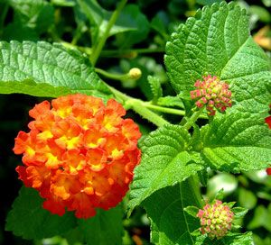 Carolina Bright Orange Lantana Plant Lantana Plant Plants Lantana