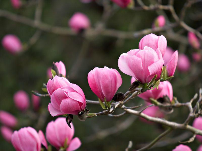 The Top Trees For Small Gardens Small Gardens Garden Trees Magnolia Trees