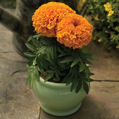 Proud Mari Orange Marigold plants are beautiful for retail displays, in gardens containers.  Order your Proud Mari Orange marigold seeds today from Harris Seeds.