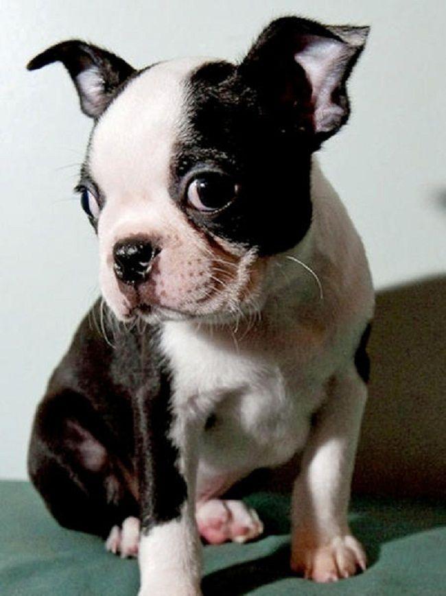 Boston Terrier Puppies Ontario Zoe Fans Blog Cute Baby Animals