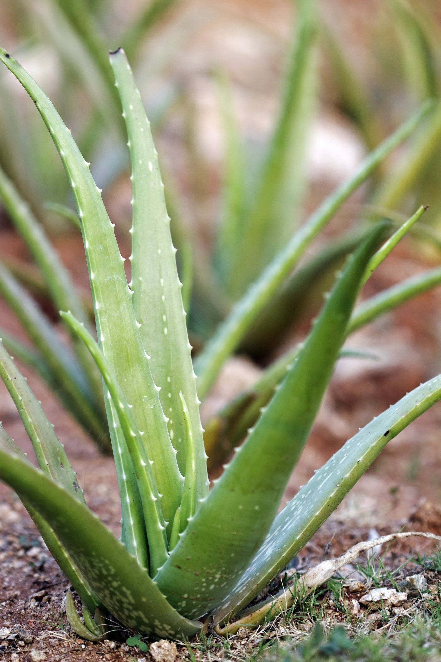 Aloe vera plants best tips for growing care - Cultiver aloe vera ...