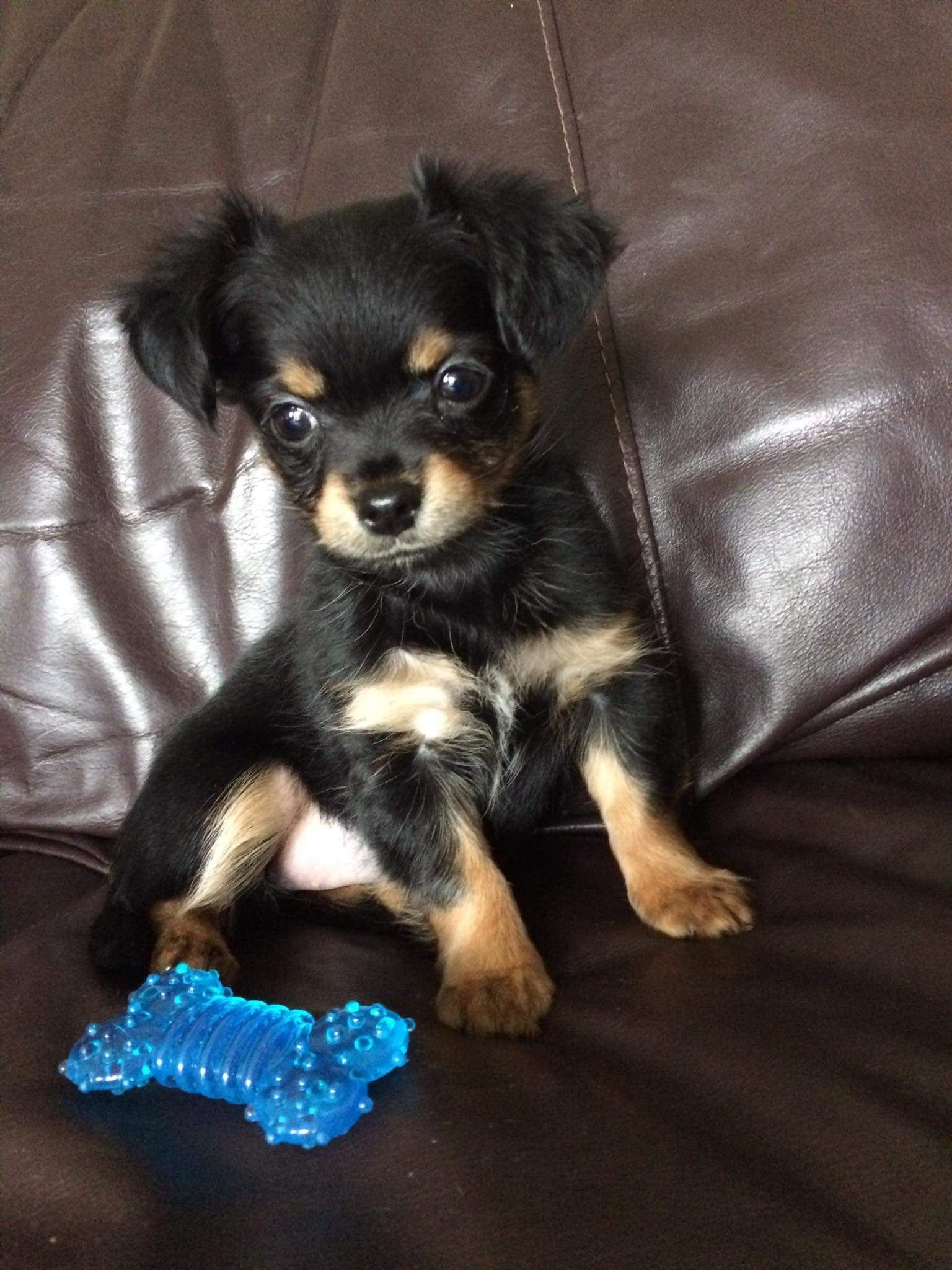 My Aunt S New Chorkie Chihuahua Yorkshire Terrier Cross Puppy