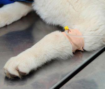 5 Questões sobre anestesia em cães e gatos June 5, 2015 by Evelyn Bandeca    A segurança é uma das maiores preocupações meus clientes têm quando seus animais de estimação tem de passar por um procedimento que requer anestesia. Estou feliz em dizer-lhes que os avanços em ambos os medicamentos e técnicas de anestesia fizeram procedimentos anestésicos mais seguros do que nunca. Saiba mais..