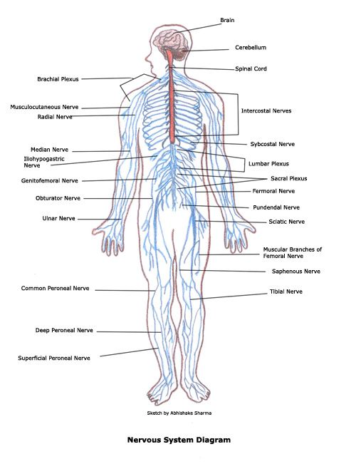 Human Nervous System Structure and Functions ExplainedNervous System Diagram Labeled And Unlabeled