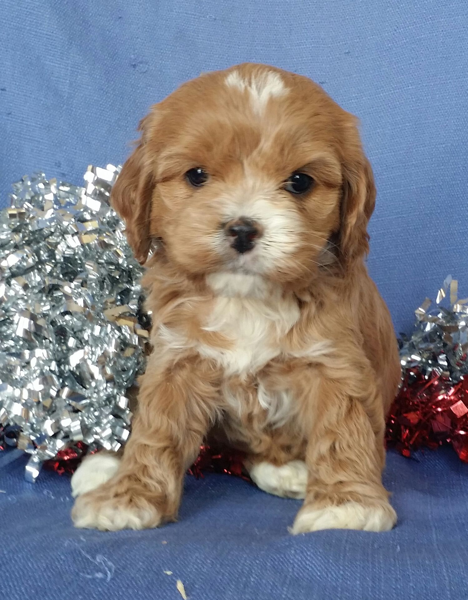 Wonderful Cockapoo In 2020 Cockapoo Breeders Cockapoo Puppies Puppies