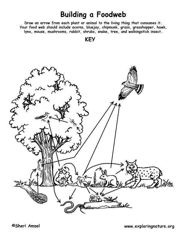 Forest Habitat Food Web Activity Exploring Nature Educational