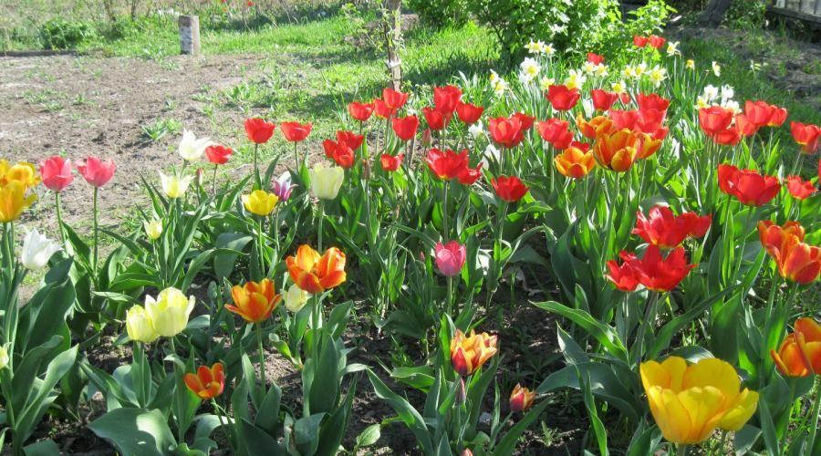 Наверное, нет такого человека, которого бы не прельщала красота цветущего тюльпана.