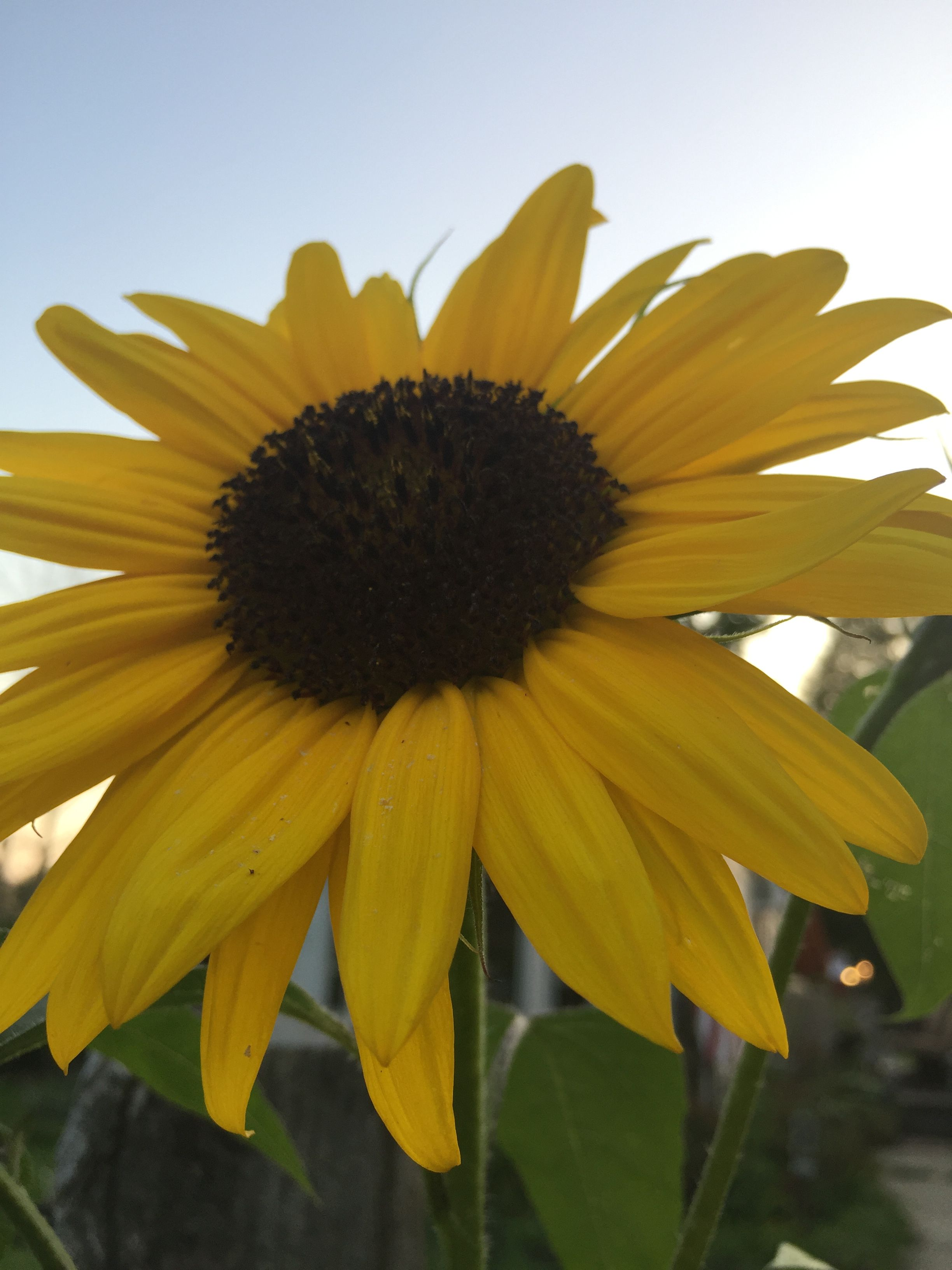 Homegrown in Ohio ) a perfect little sunflower flower