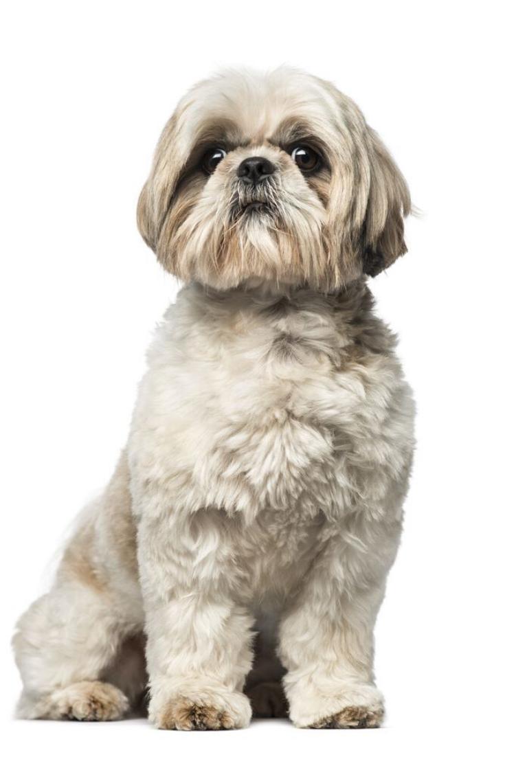 Shih Tzu 3 Years Old Shihtzu Shih Tzu Dogs Pets