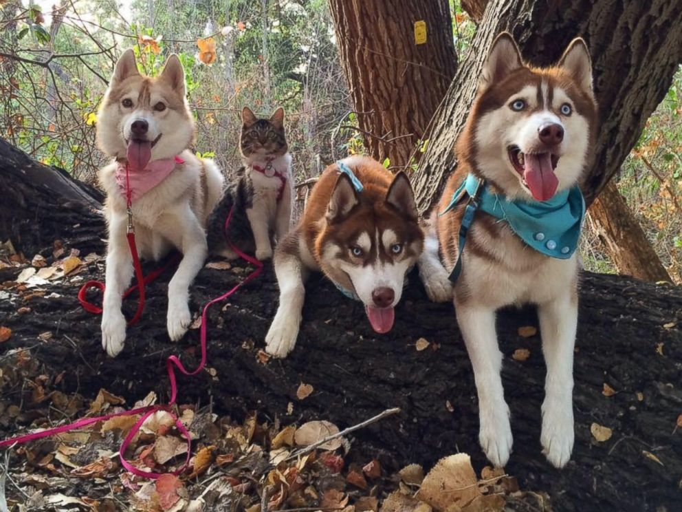 3 Siberian Huskies Adopt Cat Best Friend Into Their Pack Funny