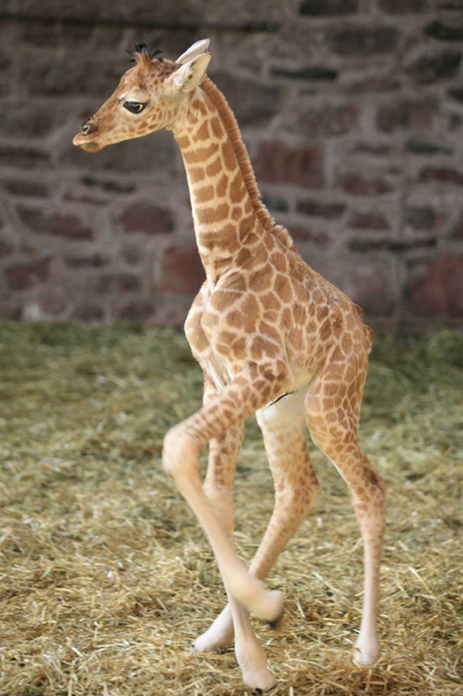 http://www.giraffe-pictures.net/baby_giraffe_pictures2.html