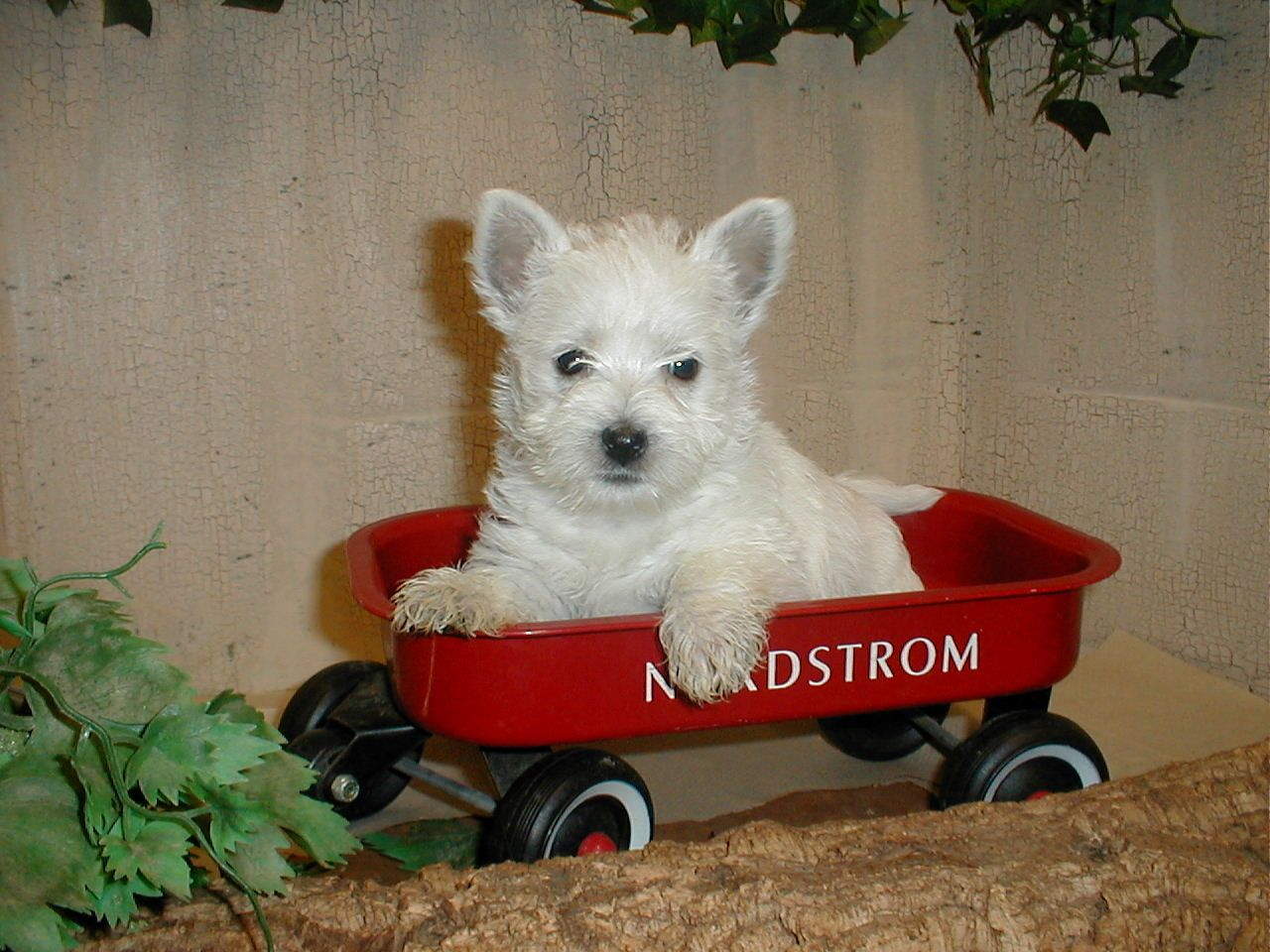 Puppies For Sale West Highland White Terriers Westies