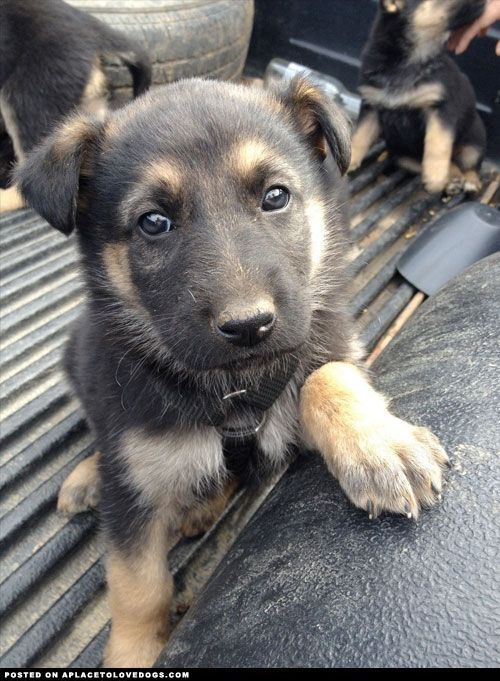 Aplacetolovedogs Adorable German Shepherd Puppy Gordon First