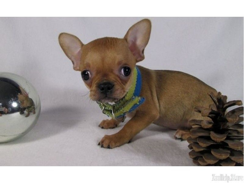 Chihuahua Puppies Price With Images Chihuahua Puppies