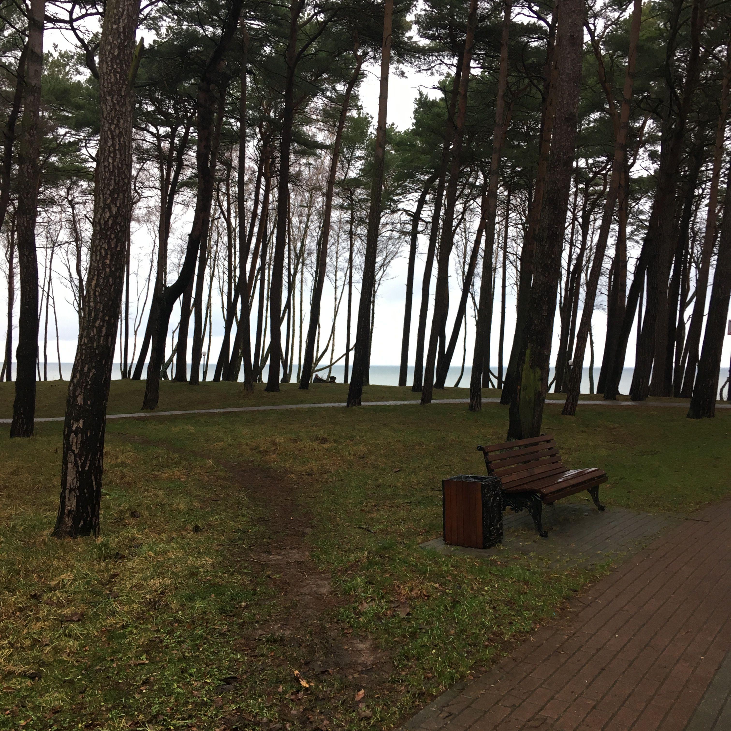 Сосновый бор перед пляжем в городе Пионерский