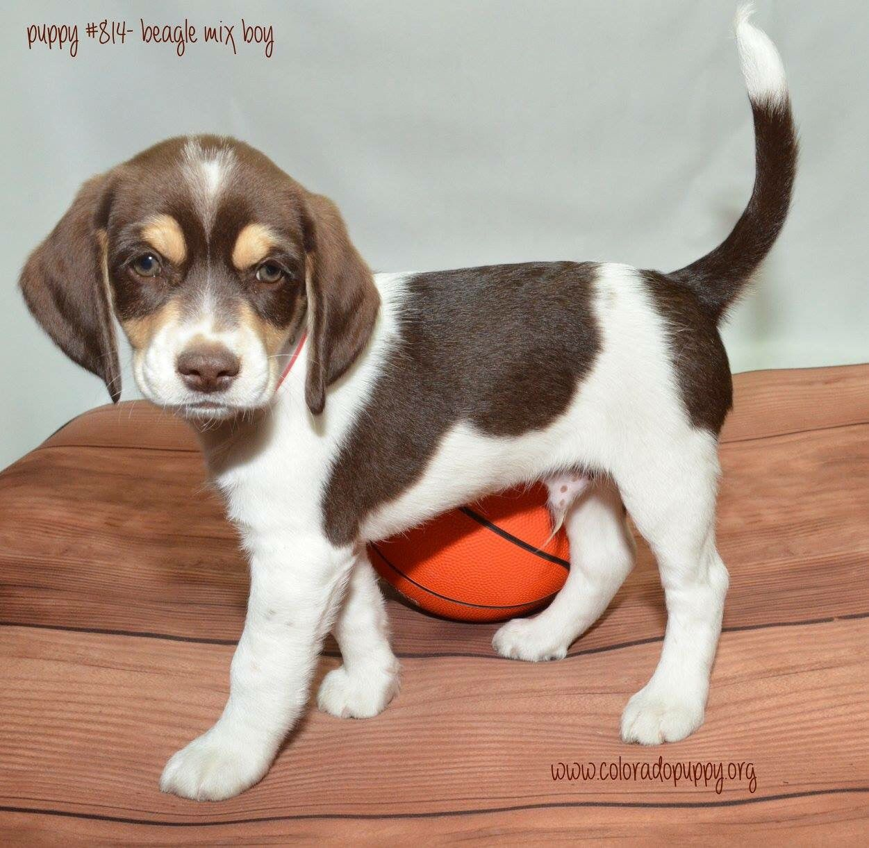 Beagle Mix Puppy Available For Adoption At Colorado Puppy Rescue