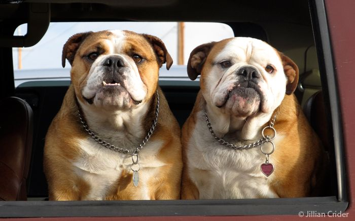 Bet these two will make you smile! Bulldogs. Rogue Valley