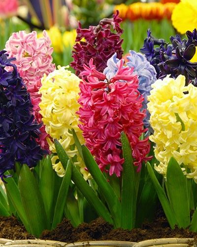 Hyacinth Empire State Mix