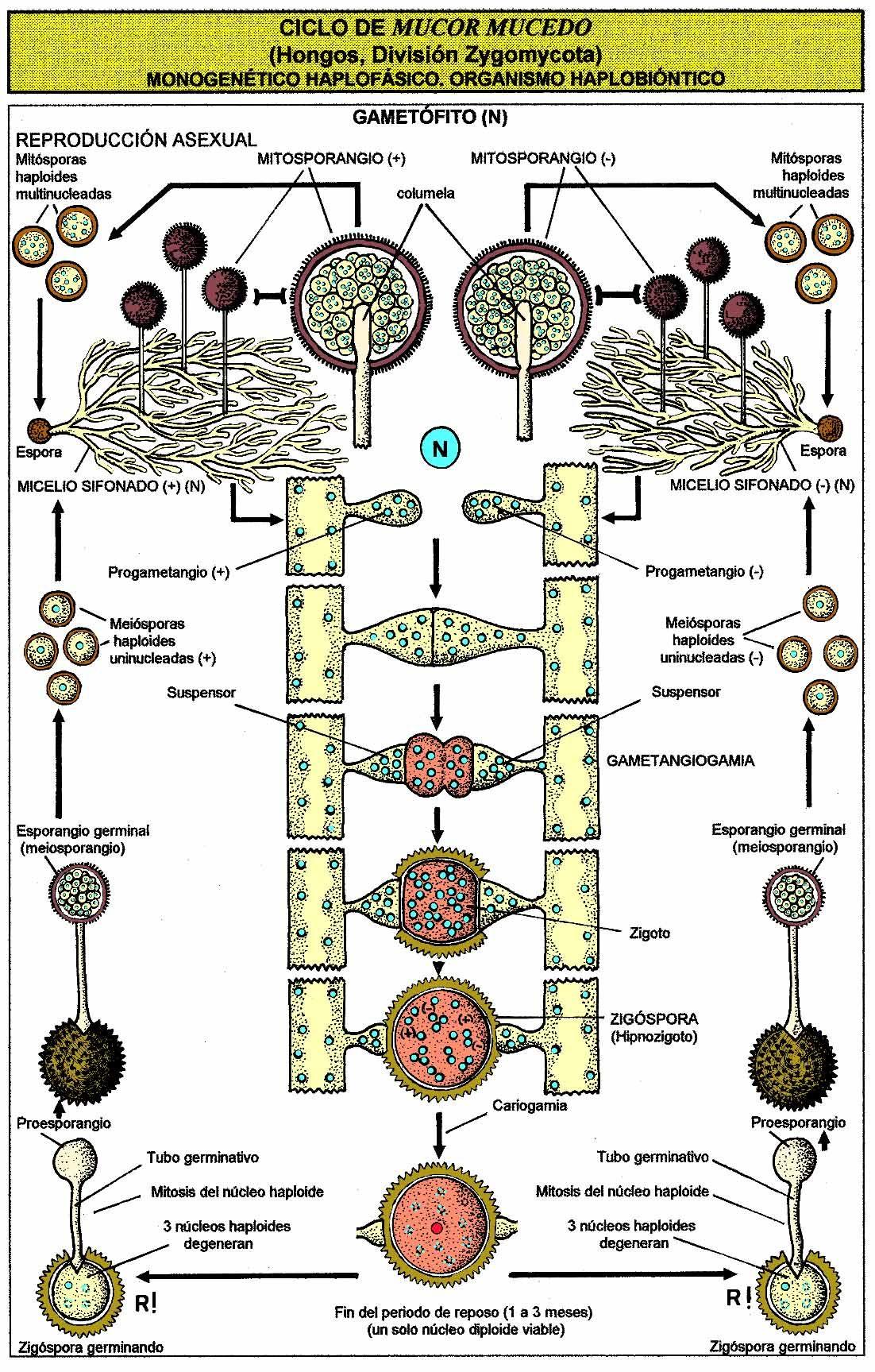 Reproduccion de los hongos basidiomycota asexual reproduction