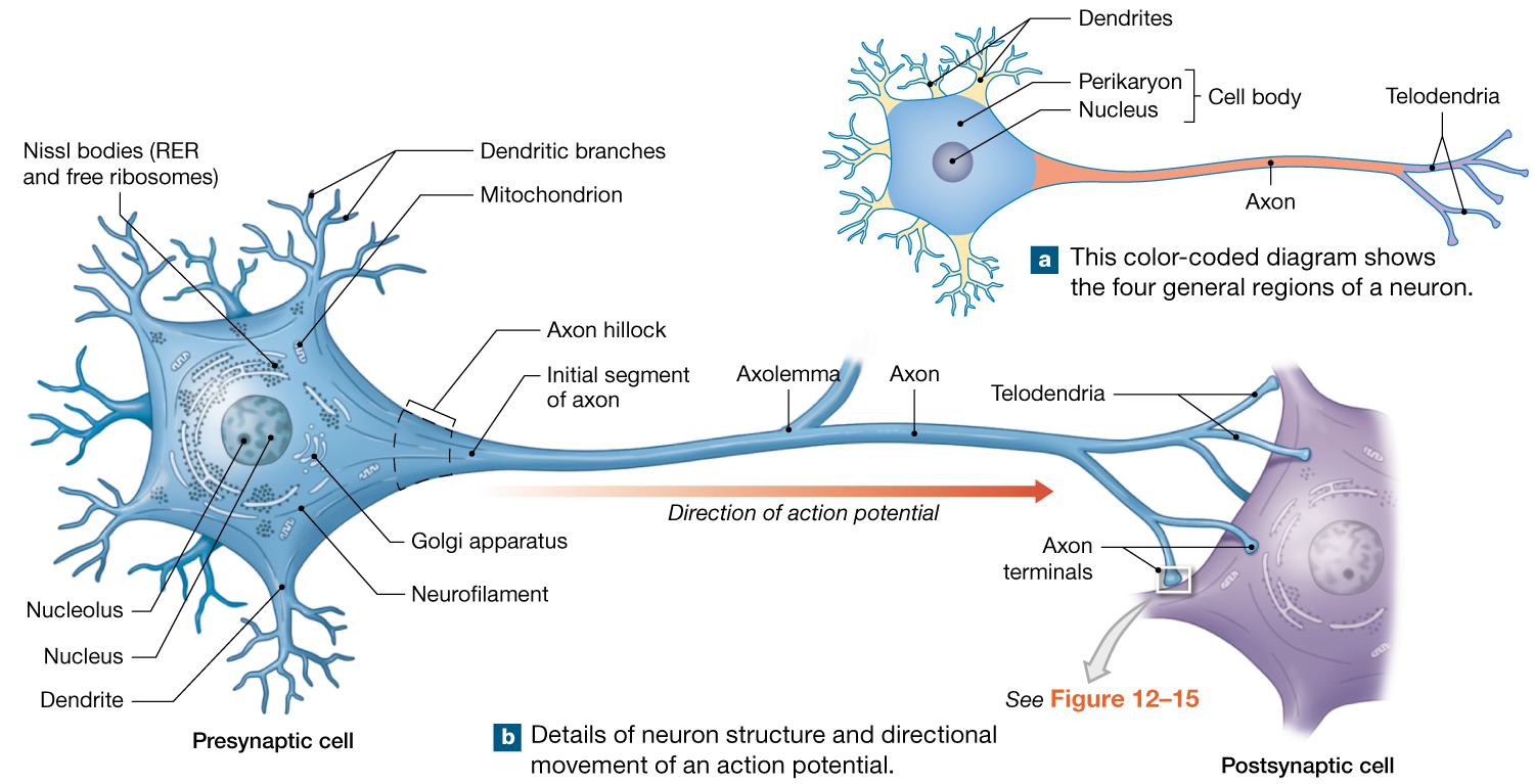 122 neurons are nerve cells specialized for intercellular 122 neurons are nerve cells specialized for intercellular communication ccuart Choice Image