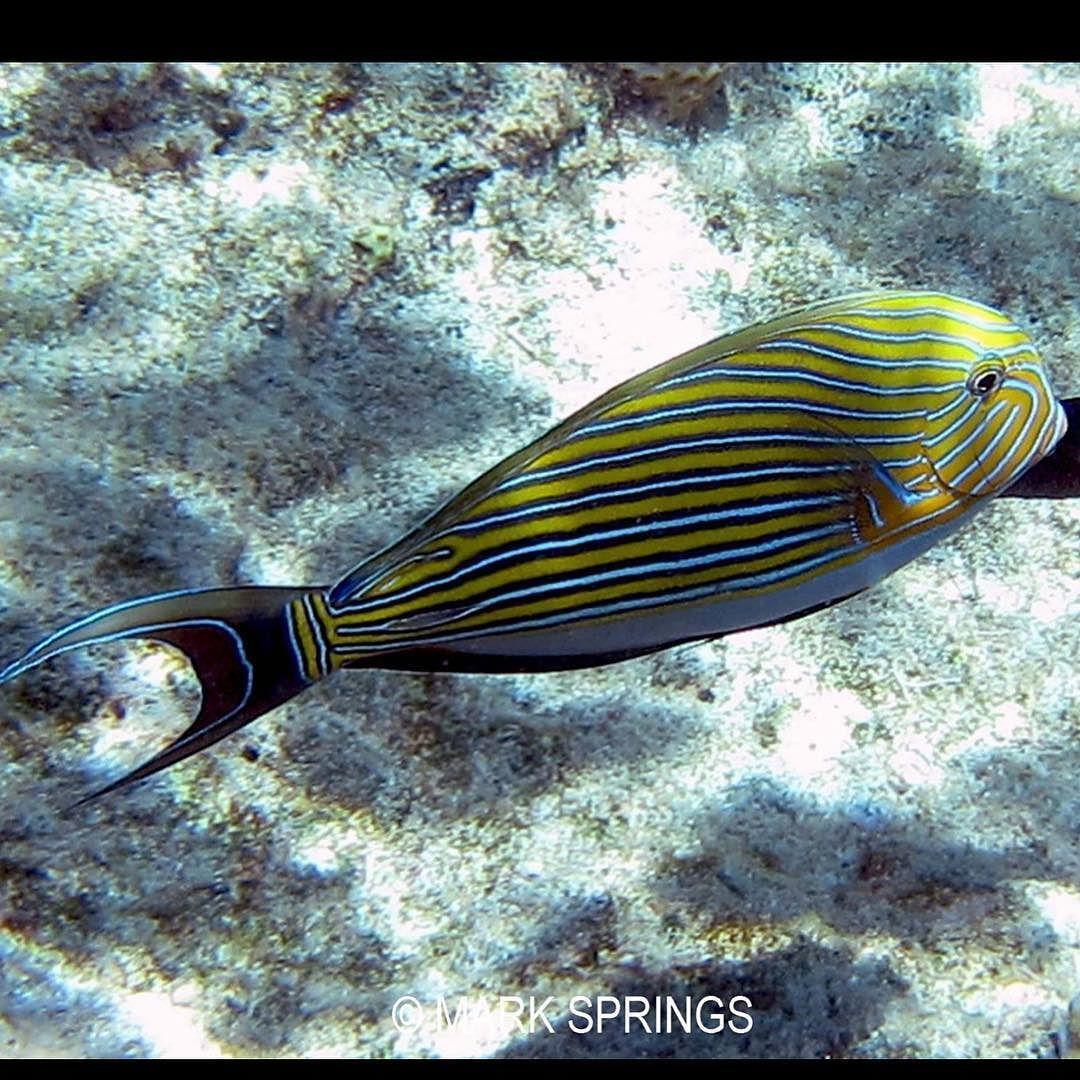 Surgeon Fish Batt Reef Port Douglas Great Barrier Reef Australia #greatbarrierreef#australia#surgeonfish#portdouglas#ocean#fish#battreef#underwaterphotography#macro#marinelife by diver_below http://ift.tt/1UokkV2