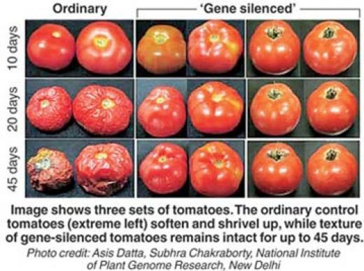 advantages and disadvantages of gmo