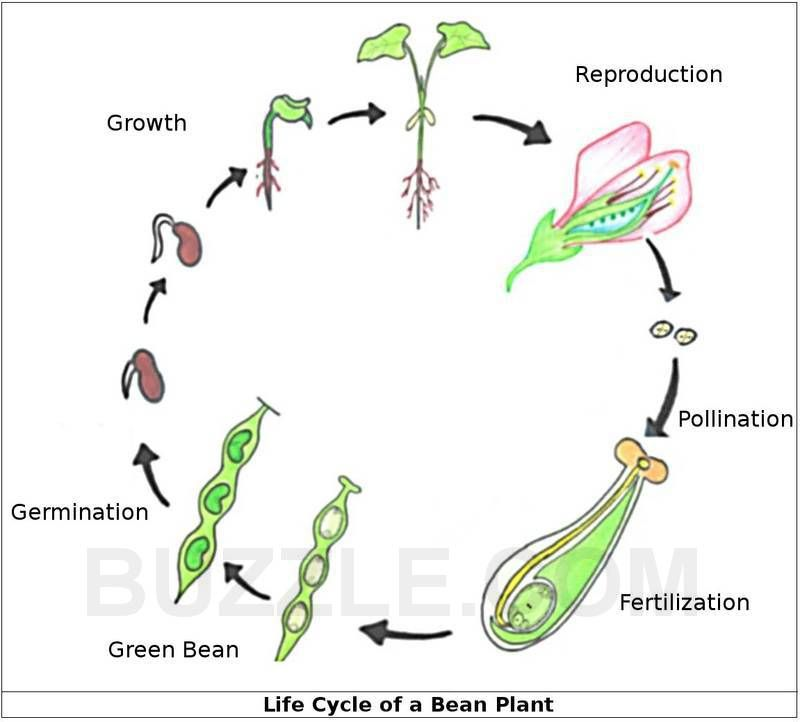 A Slight Sneak Peek at the Life Cycle of a Bean Plant ...