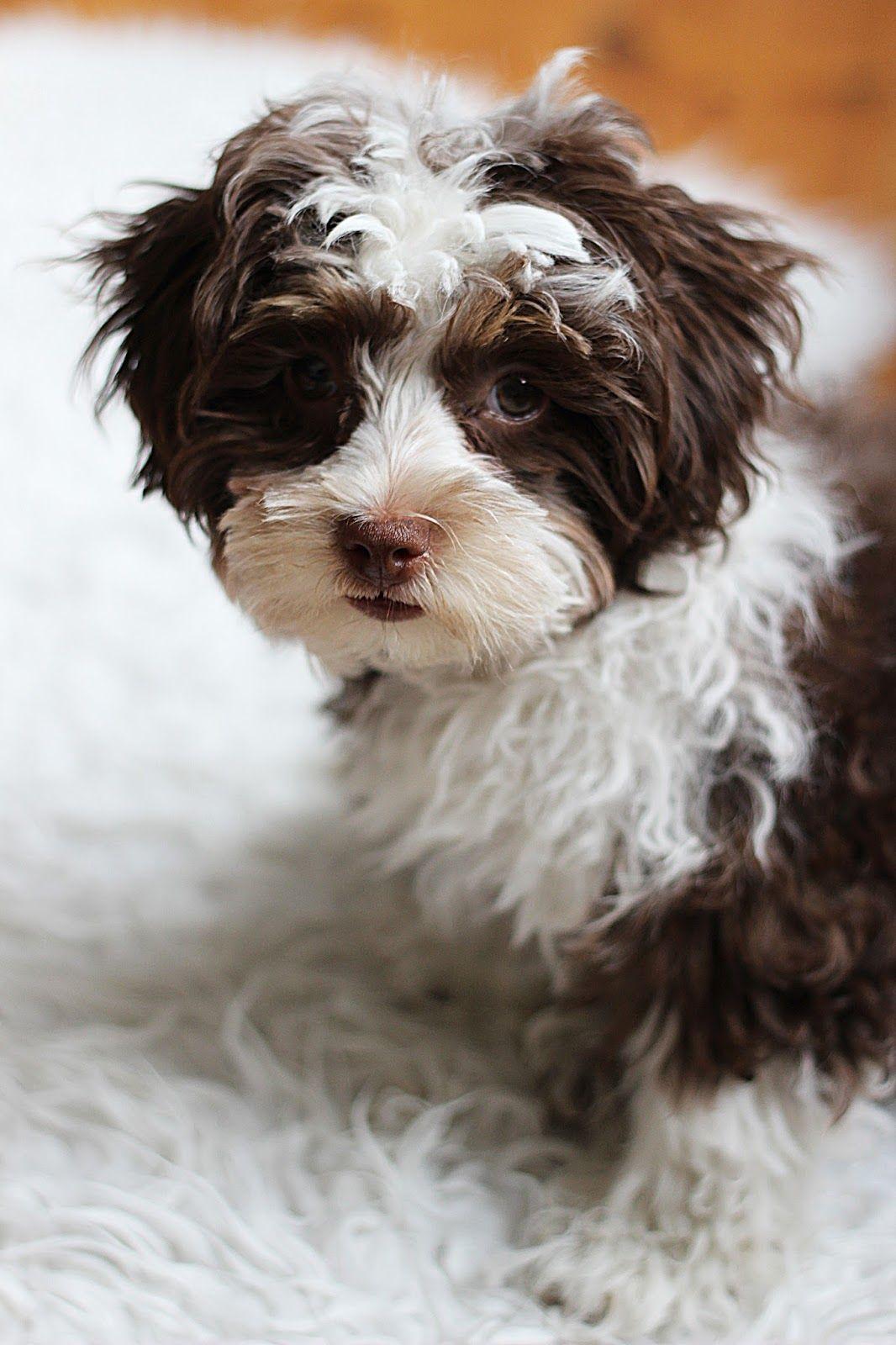 Elisasingt Bolonka Zwetna Bolonka Dog Puppy Bolonka Bolonka