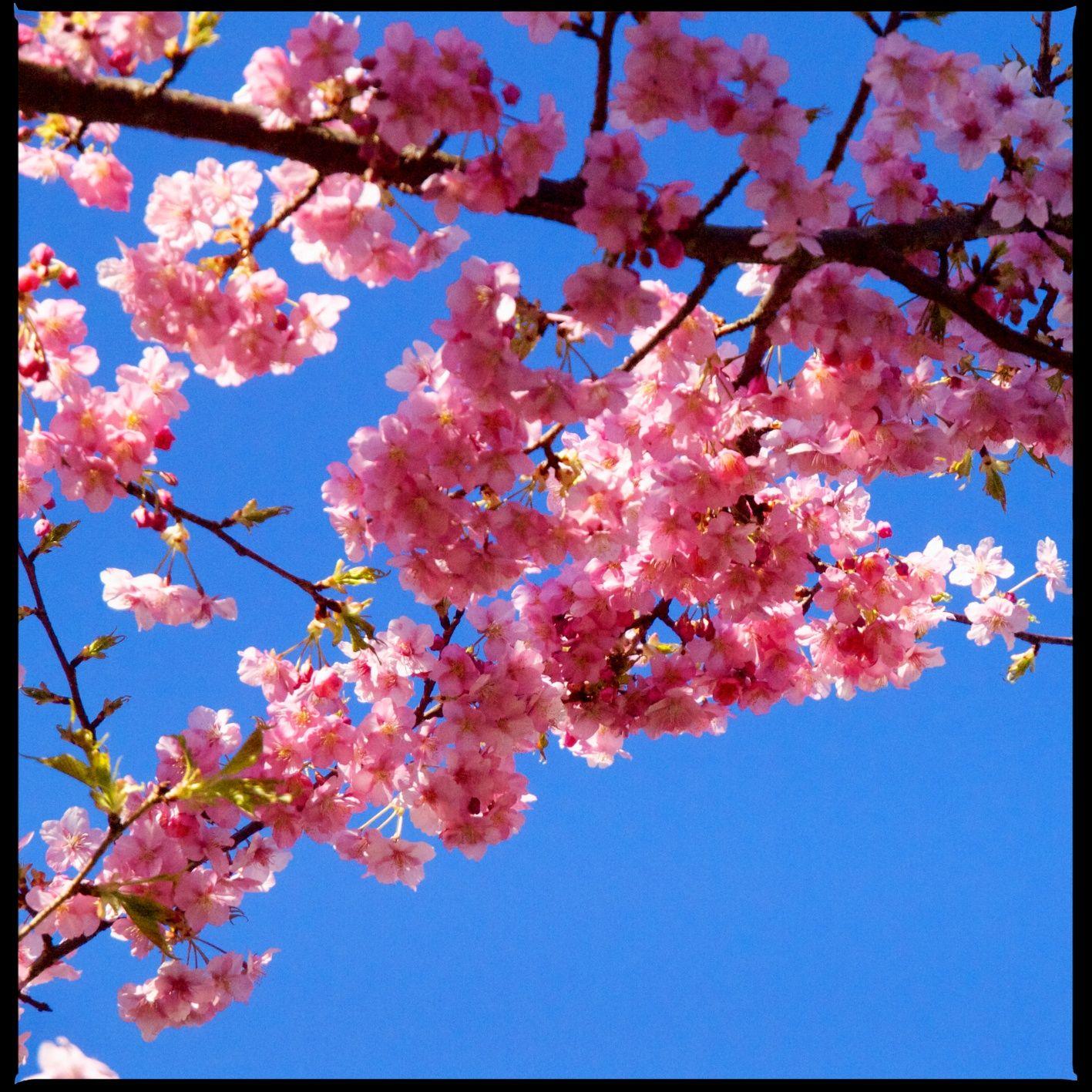 Early Blooming Cherry Tree Near Us Cherry Tree Bloom Plants