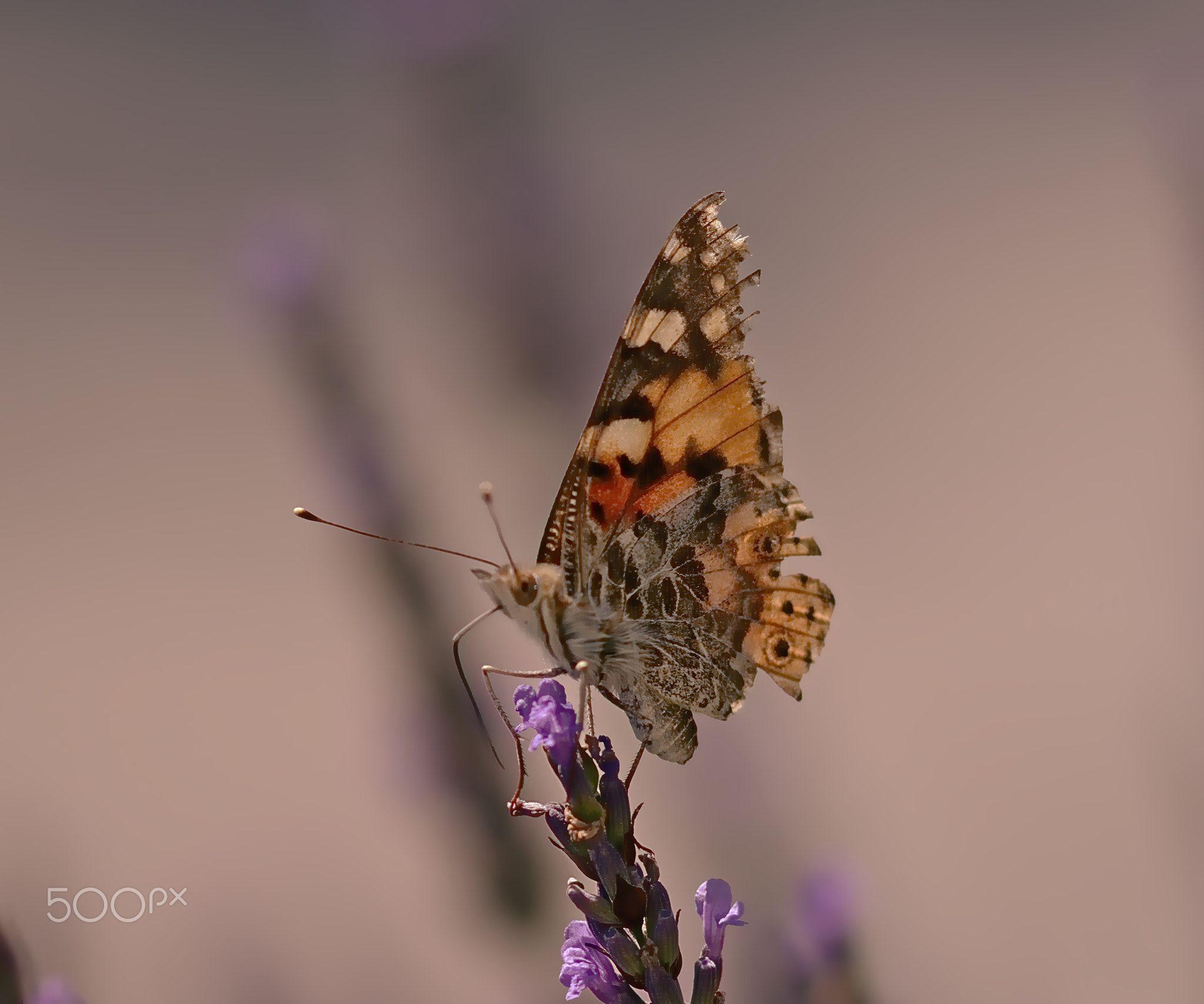 Butterfly 04