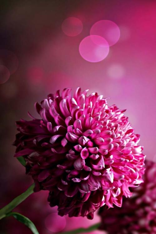 Pin by kellie torrisi on nature pinterest flowers beautiful bokeh colorful rosespurple flowerspretty mightylinksfo