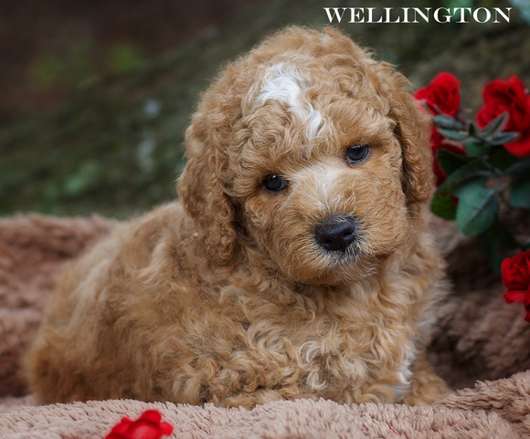1 Labradoodle Puppies for Sale Near Me Labradoodle