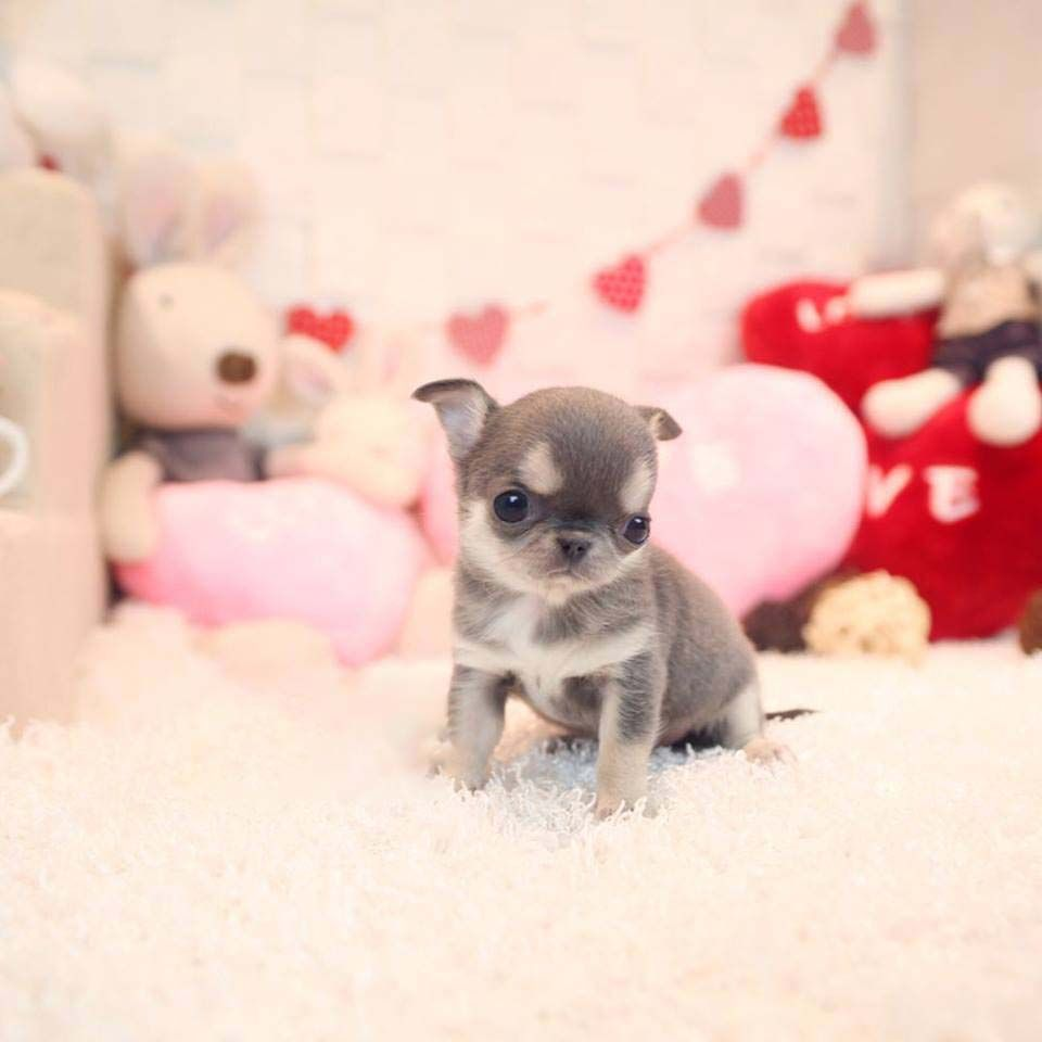 Cookie Chocolate Micro Chihuahua Teacup Chihuahua Puppies