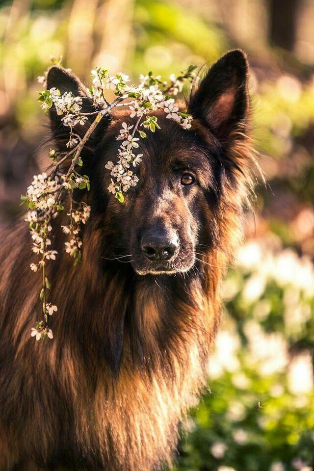 Beautiful German Shepherd Dog ♡♡