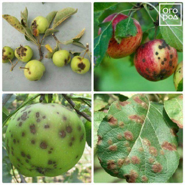 Парша на яблоне и груше: как бороться с болезнью и не ...
