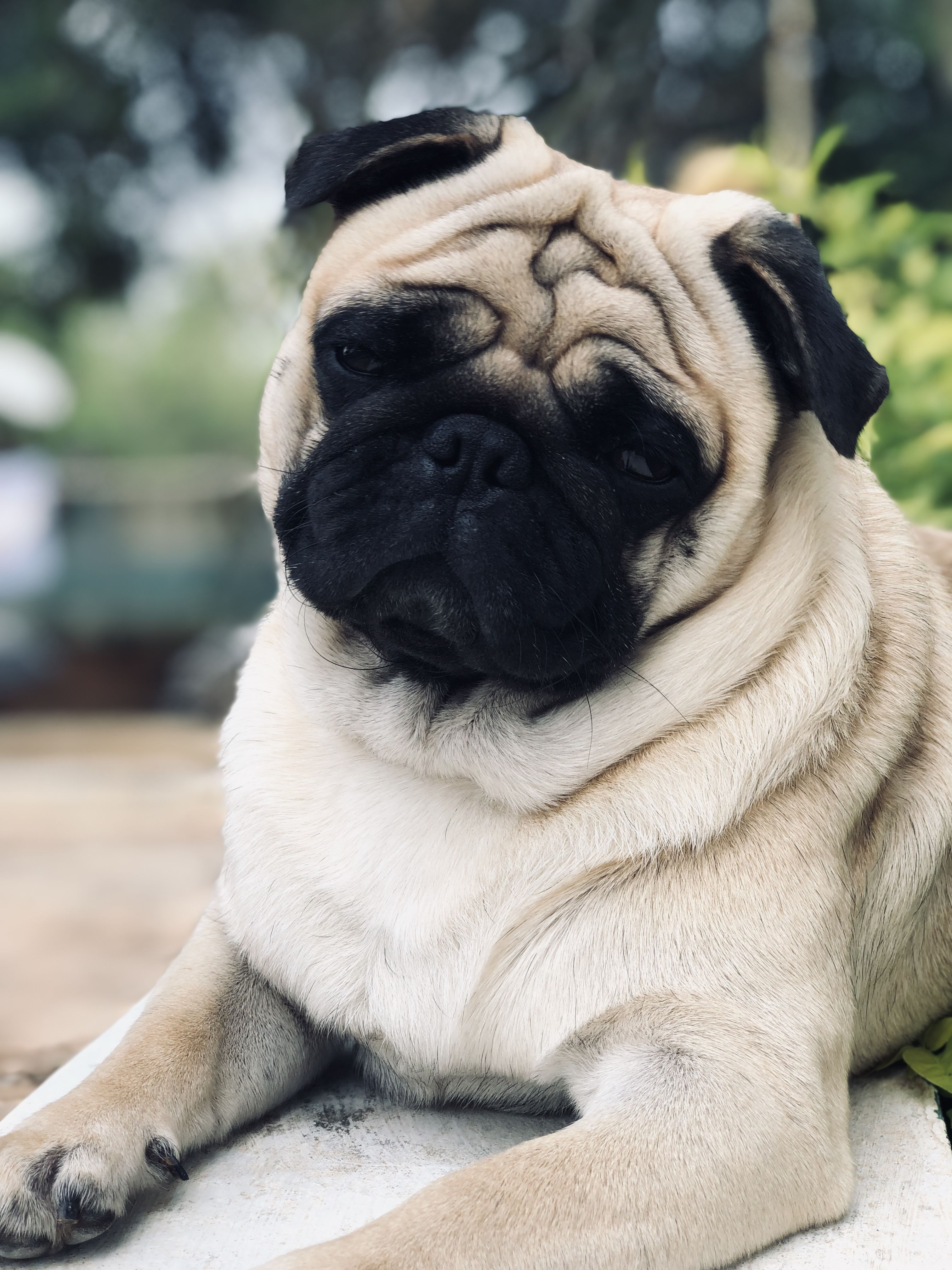 Pin By Cooljay On Pogo The Pug Cute Pug Puppies Cute Pugs Dog