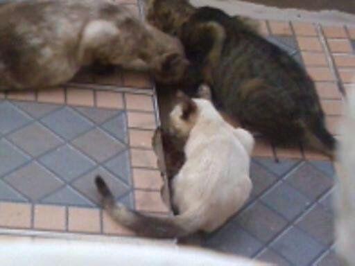 Gatos Rua: Corujinha, Jade e Brisa.