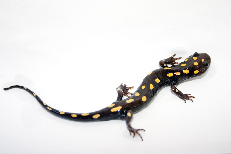 my favorite amphibian