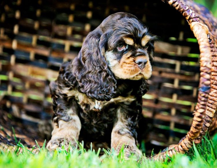 American Cocker Spaniel Puppy Chocolate Tan Spaniel Puppies American Cocker Spaniel Cocker Spaniel Puppies