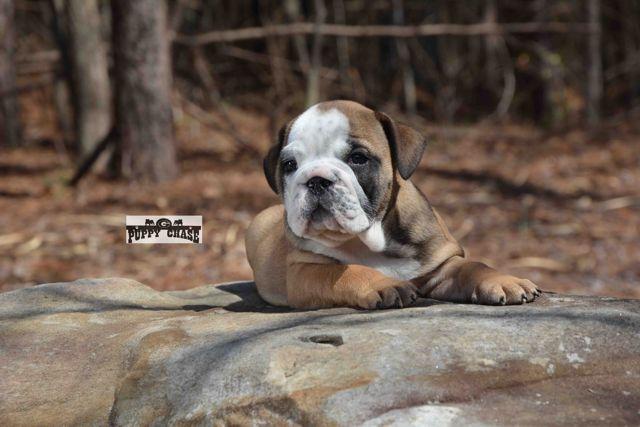 Uncle Si Www Englishbulldogpuppychase Com English Bulldog Bulldog Pets